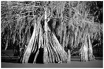 Big bald cypress tress, Lake Martin. Louisiana, USA ( black and white)