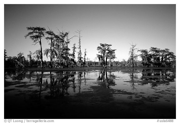 Bald cypress reflected in water. Louisiana, USA (black and white)