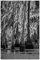 Bald cypress trees covered with Spanish mosst, Lake Martin. Louisiana, USA (black and white)
