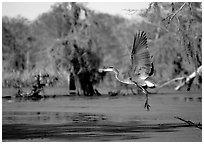 Bird landing, Lake Martin. Louisiana, USA (black and white)