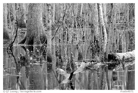 Cypress in Reelfoot National Wildlife Refuge. Tennessee, USA