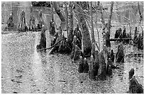 Cypress Knees in Reelfoot National Wildlife Refuge. Tennessee, USA ( black and white)