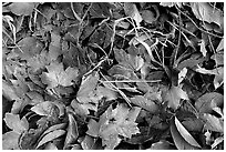 Fallen leaves with morning frost. Tennessee, USA ( black and white)