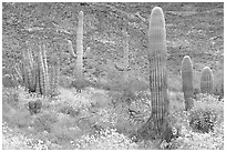 Group of Saguaro cactus amongst flowering brittlebush. Organ Pipe Cactus  National Monument, Arizona, USA (black and white)