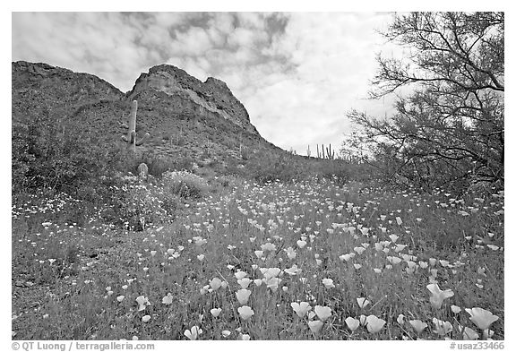 Mexican Poppies and Ajo Mountains. Organ Pipe Cactus  National Monument, Arizona, USA (black and white)