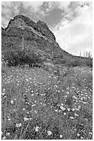Mexican Poppies, lupine,  and Ajo Mountains. Organ Pipe Cactus  National Monument, Arizona, USA (black and white)