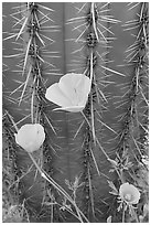 Close-up of Mexican Poppies (Eschscholzia californica subsp. mexicana) and Cactus. Organ Pipe Cactus  National Monument, Arizona, USA (black and white)