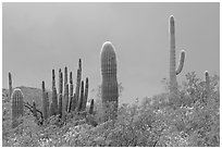 Saguaro cactus, approaching storm. Organ Pipe Cactus  National Monument, Arizona, USA (black and white)