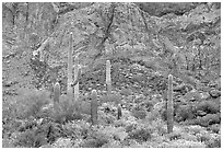 Group of saguaro cactus in spring, Ajo Mountains. Organ Pipe Cactus  National Monument, Arizona, USA (black and white)