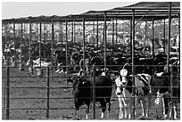 Beef cattle in feedyard, Maricopa. Arizona, USA ( black and white)