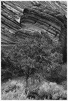 Tree and sandstone butte, Coyote Buttes South. Vermilion Cliffs National Monument, Arizona, USA ( black and white)