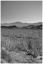 Cactus and Sonoyta Valley, dusk. Organ Pipe Cactus  National Monument, Arizona, USA (black and white)