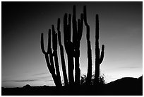 Organ Pipe cactus silhouetted at sunset. Organ Pipe Cactus  National Monument, Arizona, USA (black and white)