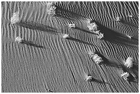 Bushes on sand dune. Canyon de Chelly  National Monument, Arizona, USA (black and white)