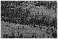 Aspens in fall foliage mixed with conifers, Rio Grande National Forest. Colorado, USA ( black and white)