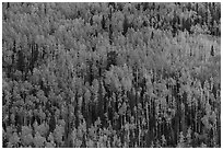 Slope with aspens in fall color, Rio Grande National Forest. Colorado, USA ( black and white)