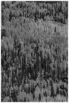 Aspens in autumn foliage on hillside, Rio Grande National Forest. Colorado, USA ( black and white)