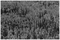 Slope with aspens in autumn color, Rio Grande National Forest. Colorado, USA ( black and white)