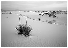 Yuccas and gypsum dunes, dawn. White Sands National Park ( black and white)