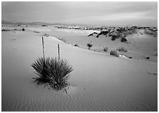 Yucca and white gypsum dune at sunrise. White Sands National Park ( black and white)