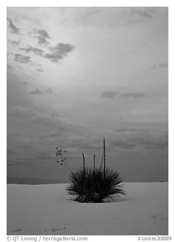 Lone yucca plants at sunset. White Sands National Park (black and white)