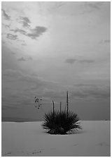 Lone yucca plants at sunset. White Sands National Park ( black and white)