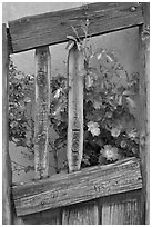 Roses and wooden doors, Sanctuario de Chimayo. New Mexico, USA (black and white)
