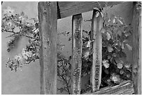 Door and roses, Chimayo Shrine. New Mexico, USA (black and white)