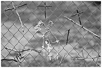 Chain-link fence with rosaries and improvised crosses, Sanctuario de Chimayo. New Mexico, USA (black and white)