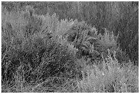 Shrubs and willows in winter. Rio Grande Del Norte National Monument, New Mexico, USA ( black and white)