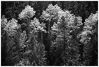 Aspens and conifers in spring. New Mexico, USA (black and white)