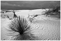 Yuccas. White Sands National Park ( black and white)