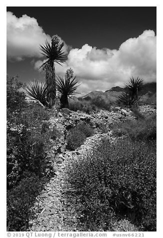 Desert wash with Yuccas in bloom. Gold Butte National Monument, Nevada, USA (black and white)