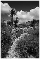 Desert wash with Yuccas in bloom. Gold Butte National Monument, Nevada, USA ( black and white)