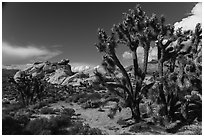 Joshua Trees in seed and rocks. Gold Butte National Monument, Nevada, USA ( black and white)