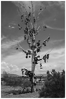 Shoe tree, Highway 50. Nevada, USA ( black and white)