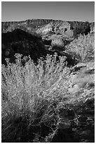Rabbitbrush and Straight Cliffs, early morning. Grand Staircase Escalante National Monument, Utah, USA ( black and white)
