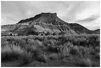 Shrubs and butte, Old Pahrea. Grand Staircase Escalante National Monument, Utah, USA ( black and white)