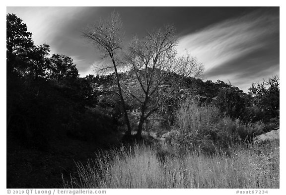 Grasses and trees in Road Canyon, late fall. Bears Ears National Monument, Utah, USA (black and white)