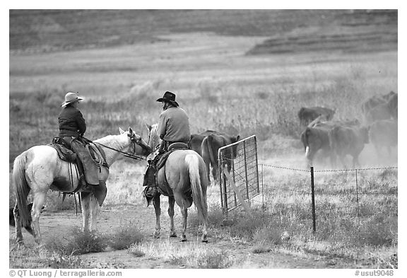 Cowboys and cattle. Utah, USA