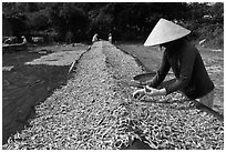 Woman sorting dried fish. Phu Quoc Island, Vietnam (black and white)