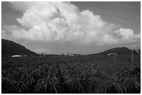 Thanh long fruit (pitaya) field and moonson clouds. Vietnam ( black and white)