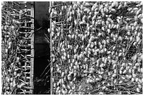 Grids with cocoons of silkworms (Bombyx mori). Hoi An, Vietnam ( black and white)