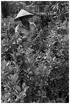 Man taking care of fruit trees. Sa Dec, Vietnam (black and white)