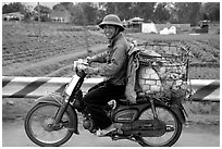 Motorcyclist carrying live pigs. Vietnam (black and white)