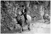 Hmong man riding a water buffalo near Yen Chay. Northwest Vietnam (black and white)