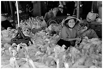 Live ducks for sale, district 6. Cholon, Ho Chi Minh City, Vietnam (black and white)