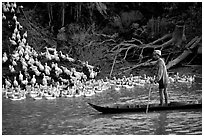 Herding a flock a ducks, near Long Xuyen. Mekong Delta, Vietnam (black and white)