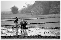 Working the rice field with a water buffalo in the mountains. Vietnam (black and white)