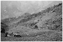 Working on a hill side with a water buffalo. Sapa, Vietnam (black and white)
